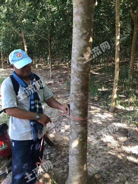 柬埔寨12750亩橡胶树林和土地转让